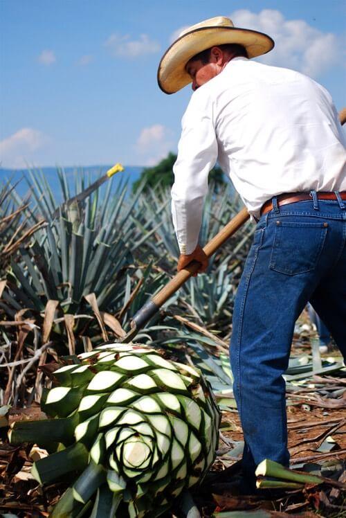 jimador de tequila